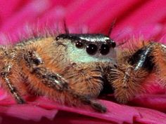 """When you say jump, this spider says, """"How far?""""  Some jumping spiders can spring up to 50 times their body length, leaping on prey, like this unfortunate bee, seemingly from out of nowhere."""