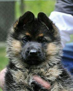 GSD puppy - little ball of fur :)