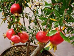 Like to grow Pomegranate in Pot ? U can do in partial sunlight - Plant Talk - NurseryLive Wikipedia