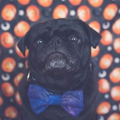 This week's pug photo challenge is all about the colour purple. Let's see your photos with purple in them tagged #tpd_purple #thepugdiary