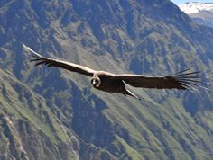 Andean Condor considered the 'largest flying bird in the world' an adult Andean Condor's wingspan can reach up to 3.2 meters (10.5 feet) and weigh up to 15 kg (33 pounds). The birds are black with white neck ruffles and featherless (bald) heads. The males have a 'comb' ontop of their heads and yellow eyes whereas females have no comb and red eyes. Like all vultures they scavenge for their food and eat primarily dead carcasses.