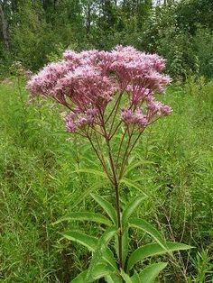joe pye weed: super edible and medicinal, also really hard to kill, native