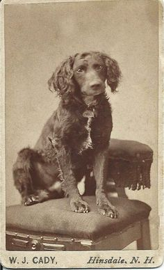 """c.1870s cdv of """"Smuggles,"""" the dog, owned by Cooper (handwritten on back of card). Photo taken by W.J. Cady, Hinsdale, N.H. From bendale collection"""