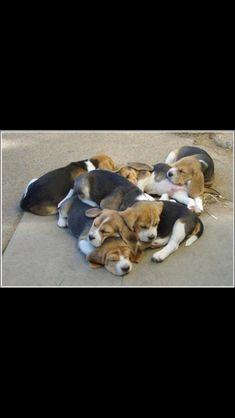 Bundle of Beagles. ♡ #beagle