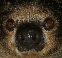Hoffmanns two-toed sloth extreme close-up featuring an exceptionally wet nose Two Toed Sloth, Animal Noses, Extreme Close Up, Baby Sloth, Animal Facts, Hyena, Close Up Photos, Animal Kingdom, Cute Animals