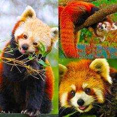 Red panda!!! So cute
