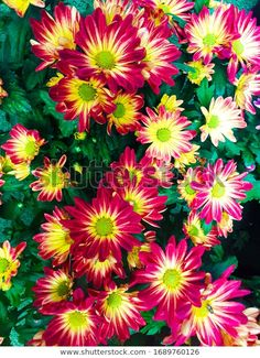 Find Bright Colorful Chrysanthemums Floral Nature Background stock images in HD and millions of other royalty-free stock photos, illustrations and vectors in the Shutterstock collection. Thousands of new, high-quality pictures added every day. Chrysanthemums, Bright, Nature Photos, Photo Editing, Royalty Free Stock Photos, Victoria, Colorful, Autumn, Illustration