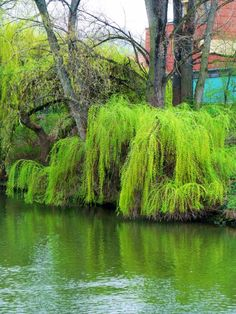 Weeping willows weeping into the River Regnitz
