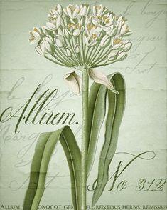 Allium I Fine-Art Print by Color Bakery at UrbanLoftArt.com