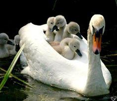 Cygne, Swan with babies, so cute! Vida Animal, Especie Animal, Mundo Animal, Beautiful Swan, Beautiful Birds, Animals Beautiful, Beautiful Pictures, Animals And Pets, Baby Animals