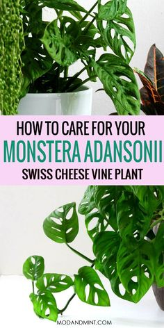 The Monstera adansonii or Swiss Cheese Vine plant is the smaller relative of the famous Monstera deliciosa and quite often mislabelled as Monstera obliqua, a much rarer family member. Find out how to Planting Succulents, Garden Plants, Planting Flowers, House Plants Decor, Plant Decor, Vine House Plants, Common House Plants, Plante Monstera, Monstera Deliciosa