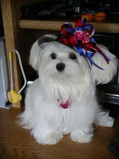 Susen raises Maltese and all of her babies and the Moms & Dads are groomed in Pure Paws.  Looking for a Maltese in Texas?  Susan may have your next best friend.