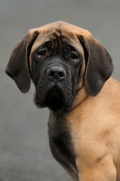 Mastiff, looks like our grand dog Sydney.....