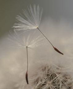 ˚Dandelions on the move