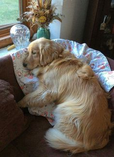 Golden Retriever nap time...looks like my Zuzu