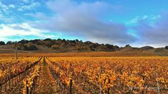 Well it is the Holiday Season.....and no holiday season would be complete without Autumn in Sonoma! Have a great day!  #visual_heaven #all_my_own #bd_sky #collection_sky #clouds_of_our_world #dream_image #exploretocreate #earthboundshots #ebs_fullframe #16x9club #fotocatchers #fotofanatics_nature_ #great_captures_nature #heart_imprint #igtoday #ig_exquisite #ig_countryside #jj_skylove #loves_skyandsunset #nature_hippys #nature_sultans #nature_wizards #nature_up_close #sonomavalleywine…