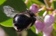 Anthophora pacifica bee butt, on  Austin Griffin Manzanita. Anthrophora is a very smart, fast and effective  pollinator. - grid24_6