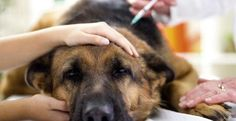 Τι πρέπει και τι ΔΕΝ πρέπει να κάνεις εάν ο σκύλος σου πάθει δηλητηρίαση και δεν έχεις πρόσβαση σε κτηνίατρο! – DogWay.gr