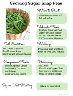 Growing Sugar Snap Peas, Here's an info graphic with all the information you need to grow sugar snap peas.