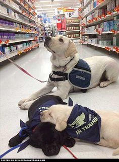 Service Dogs in Training with a trained Sdog (Service Dog) - so much adorableness in this picture.
