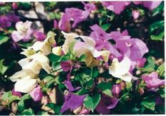 62-Surprise Surprise Bouquet – Monrovia combines two varieties in one container plant. Deep purple and snow white combine for a dramatic landscape effect on arbors, columns or large-scale ground cover. Fast growth to 15 feet tall as a vine; 10 feet as a ground cover.