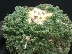 agrosi | Fotogallerie Cactus e Dintorni: il sito per appassionati di Piante Grasse