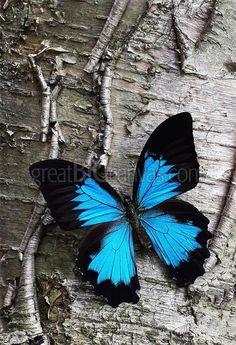 Blue Butterfly on Birch