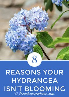 hydrangea garden care These tips for figuring out why your hydrangea isnt blooming are awesome. Find out what you need to do to get beautiful perennial Hydrangea flowers in your garden landscaping. Hydrangea Paniculata, Incrediball Hydrangea, Hydrangea Bloom, Hydrangea Care, Hydrangea Not Blooming, Hydrangea Flower, Blooming Flowers, Hydrangea Colors, Part Shade Perennials