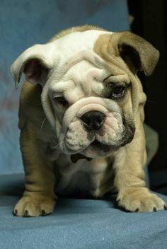 chiot, dog