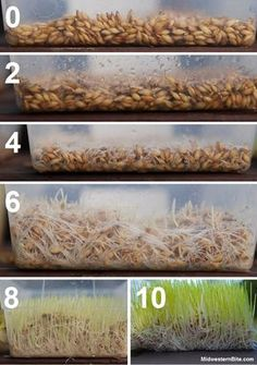 Grow Barley Fodder for chickens & rabbits - worth coming back to this blog, the guy is hilarious.