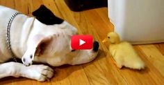 This Tiny Duckling Made A Big Friend! Watch Their Adorable Interaction | The Animal Rescue Site Blog