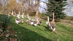 African geese eating a treat of apples