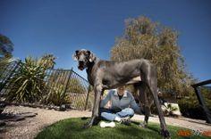 Fotos de o maior cão do mundo