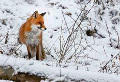Vulpe peisaj iarna Fox, Animals, Animales, Animaux, Animal, Animais, Foxes