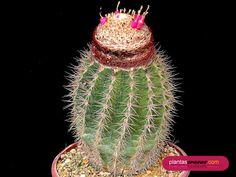 Melocactus estevesii