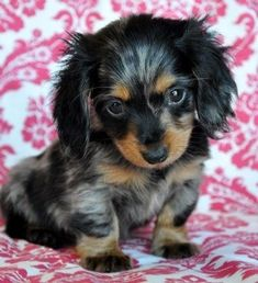 Dapple dachshunds puppies. Okay, what ever you want- here's treats, my bed, keys to the car, just please- don't look at me with those eyes again... #Dachshundpuppy