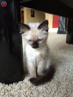 Siamese Cat Gallery - Cat's Nine Lives Kittens And Puppies, Cute Cats And Kittens, Kittens Cutest, Pretty Cats, Beautiful Cats, Balinese Cat, Hypoallergenic Cats, Siamese Kittens, Cute Baby Animals