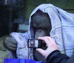 Orangutan 'Oshine' - Monkey World Ape Rescue Centre - Dorset UK