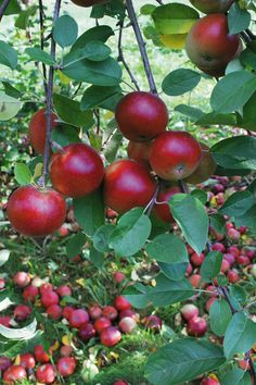 'Honeycrisp' Apple Tree - One of the best apples for home gardeners. It has just the right balance of tart to sweet and has a great crisp when you bite into it. Height at maturity 12-15'. Super hardy to Zones 3.