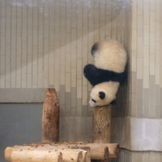 im good at balancing!even on my head! Panda Love, Cute Panda, Red Panda, Funny Animal Pictures, Funny Animal Memes, Funny Animals, Cute Baby Animals, Animals And Pets, Photo Panda