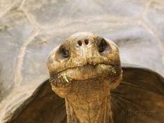 Galapagos Tortoise, Giant Tortoise Breeding Center, Galapagos, Ecuador