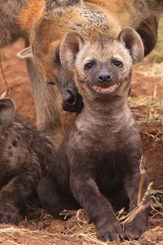 """Say cheese."" ... spotted hyena cub by Chris Gamel"