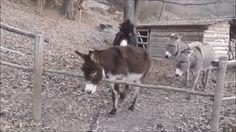 burro sagaz