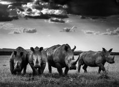 Endangered Rhinos by Laurent Baheux