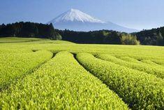 Fresh green tea fields below Mount Fuji. I want to run full speed through here.