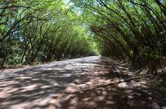 Tunel de árboles en Santa Rita