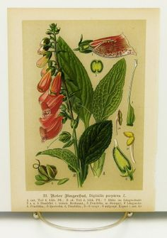 1814 Antique Heracleum sphondylium Roots Flower Plant Botanical Medicinal Plant Drug Narcotic Poisonous Natural History Wall Art Home Decor