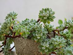 Echeveria 'Doris Taylor' (Woolly Rose) is an attractive succulent up to 2 inches (5 cm) tall, that forms rosettes of fleshy leaves...