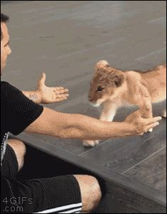 Lion cub walks right into a humans arms. Most adorable thing I've seen all day.