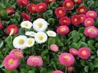 Sedmikráska zahradní, Bellis perenis